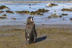 Pinguim só na costa Chubut Argentina foto de stock royalty free