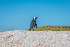 Pinguim só na praia África do Sul dos pedregulhos Imagens de Stock