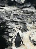 Pinguim Stock Photo