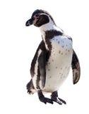 Pinguin über Weiß stockbild