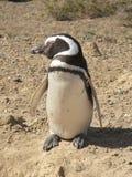 Pinguin σε έναν φυσικό λιμένα Στοκ εικόνες με δικαίωμα ελεύθερης χρήσης