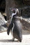 Pinguin 2 Stockbilder