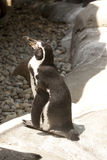 Pinguin Stockbild