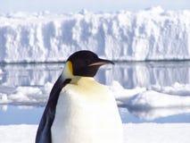 Pinguin Lizenzfreie Stockfotos