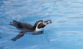 Pinguin Stockfoto
