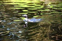Pinguin Fotografia Stock