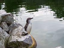 Pinguin Стоковые Изображения RF