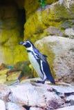 Pinguin - Aquarium Dubai lizenzfreies stockfoto