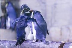 Pinguin auf einem Felsen mit anderen Pinguinen Lizenzfreie Stockfotos