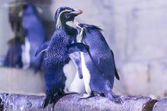 Pinguin auf einem Felsen mit anderen Pinguinen Stockfotos