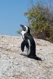 Pinguin auf Felsen lizenzfreies stockbild