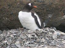 Pinguin auf Nest mit Ei und kleinem Babypinguin stockfotos