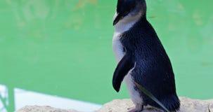 Pinguin in Australien stock video