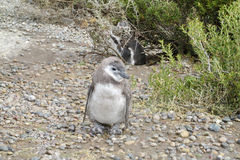 Pinguin-Baby Lizenzfreies Stockfoto