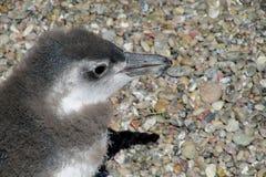 Pinguin behandla som ett barn Royaltyfri Bild