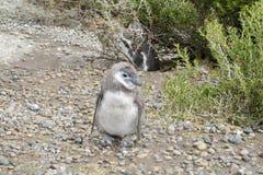 Pinguin behandla som ett barn Royaltyfri Foto