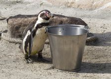 Pinguin is being fed. By a human royalty free stock image