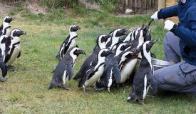 Pinguin is being fed. By a human royalty free stock images
