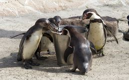 Pinguin is being fed. By a human royalty free stock photography