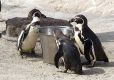 Pinguin is being fed. By a human stock images
