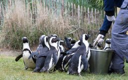 Pinguin is being fed. By a human stock photo