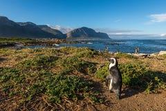 Pinguin an Bettys-Bucht in Südafrika stockfotografie