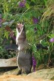 Pinguin Brüllens Humboldt lizenzfreies stockfoto
