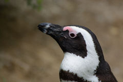 Pinguin in Burgers Zoo Royalty Free Stock Images