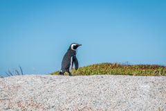 Pinguin in Cape Town South Africa Stock Image