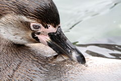 Pinguin close up Stock Photography