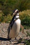 Pinguin in de aard Royalty-vrije Stock Afbeeldingen
