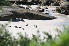 Pinguin de paysage et de faune de l'Afrique du Sud Photos libres de droits