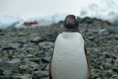 Pinguin der Antarktis Gentoo steht auf felsigem Strand mit Wassertropfen auf Federn, rotes Boot stockfoto