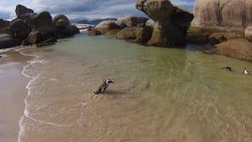 Pinguin, der in Boulder-Strand geht stock video
