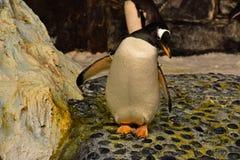 Pinguin, der in die Antarktis-Reich der Pinguine bei Seaworld sich entspannt lizenzfreie stockfotos