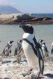 Pinguin, der für das Foto aufwirft stockbilder