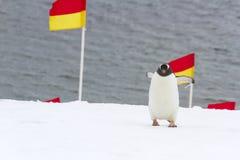 Pinguin, der Flaggen im Schnee navigiert Stockfoto