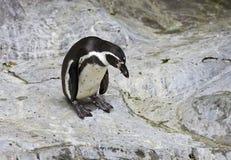 Pinguin, der unten auf Felsen nah oben schaut Lizenzfreies Stockbild