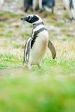 Pinguin, der zur linken Seite schaut Stockfoto
