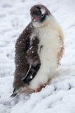 Pinguin des gewordenen Vogels mit einem roten Schnabel untersucht die Kamera Lizenzfreie Stockbilder