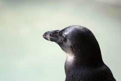 Pinguin-Detail lizenzfreies stockbild