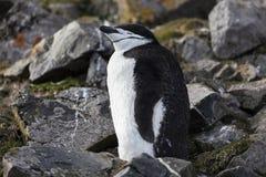 Pinguin di sottogola Fotografia Stock