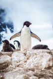 Pinguin in die Antarktis-Inseln Lizenzfreie Stockfotos