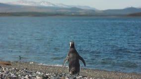 Pinguin die naar overzees gaan stock videobeelden