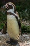 Pinguin in einem russischen Zoo Lizenzfreies Stockfoto