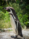 Pinguin in einem russischen Zoo Stockfoto