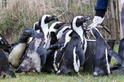 Pinguin est aliment? photographie stock