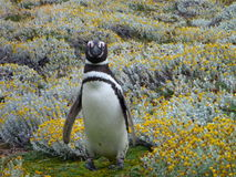 Pinguin in a green and yellow moss in seno otway reservation in chile Royalty Free Stock Photos