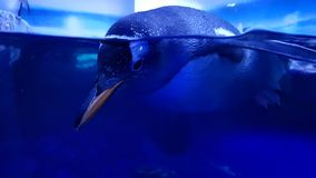 Pinguin half in water at Sealife London. Pinguin having fun at Sealife London, half in water half outside image royalty free stock photography