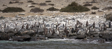 Pinguin Humboldt Kolonie stockbild